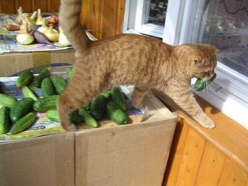 Dietas veganas en gatos: nuevo estudio.